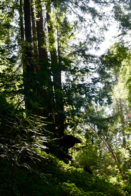 e2db589cc6b61 Here are some of the trees of this 2nd growth redwood forest, there were  many trees like the 600-year-old white redwood that were taken from here,  ...